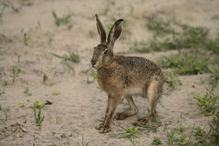 Brown hare, Lepus europaeus, Royalty Free Stock Photography