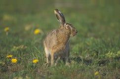 Brown hare, Lepus europaeus Stock Image