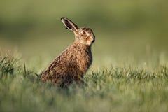 Brown hare, Lepus europaeus Royalty Free Stock Image