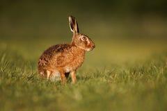 Brown hare, Lepus europaeus Stock Photography