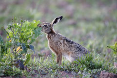 Brown hare, Lepus europaeus Stock Photos