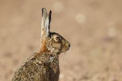 Brown hare, Lepus europaeus. Single mammal head shot, Warwickshire, June 2014 royalty free stock photos