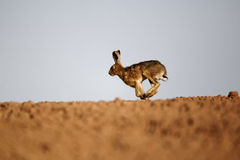 Brown hare, Lepus europaeus Royalty Free Stock Photography