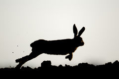 Brown hare, Lepus europaeus Royalty Free Stock Images