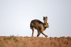 Brown hare, Lepus europaeus Stock Images