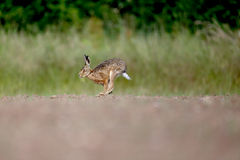 Brown hare, Lepus europaeus Royalty Free Stock Photo