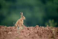 Brown hare, Lepus europaeus Stock Photo