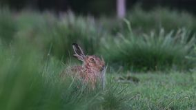 Brown hare, Lepus europaeus, sitting, hiding on long grass in summer, june in a glen in the cairngorms national park. European brown hare, Lepus europaeus stock footage