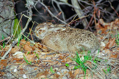 Brown hare leveret in the forest Stock Photo
