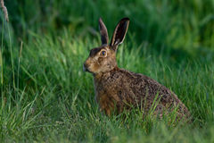 Brown hare looking watchful Stock Image