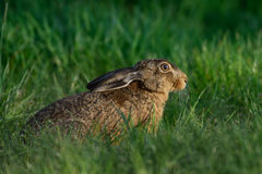 Brown hare in the meadow Royalty Free Stock Images