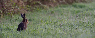 Brown hare in the meadow Stock Images