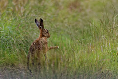 Brown Hare in meadow, shadow boxing, wet from bathing in puddle Stock Photos