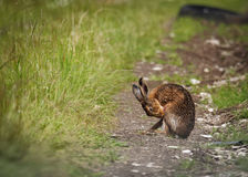 Brown Hare on path, cleaning with tongue wet from bathing in puddle (Lepus europaeus) Royalty Free Stock Photography