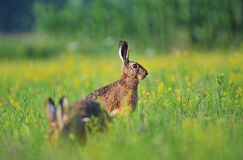 Brown hare Royalty Free Stock Photography
