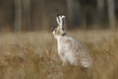 Brown hare portrait. Brown Hare in the fields Stock Photo