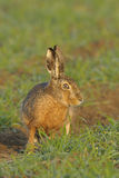 Brown hare portrait. Portrait of a brown hare sitting in a field Stock Photo