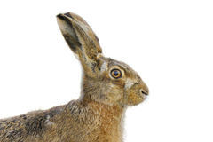 Brown hare portrait Stock Images