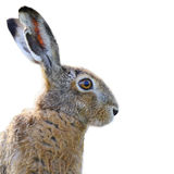 Brown hare portrait Stock Photos