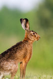 Brown hare Stock Photography
