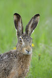 Brown hare portrait Royalty Free Stock Image