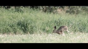 Brown Hare Running Across a Field. A brown hare runs from right to left in a field royalty free stock images
