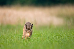 Brown hare running in a field Stock Photo