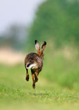 Brown hare running Royalty Free Stock Photography