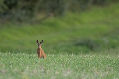 Brown Hare Sitting in a. Field royalty free stock images