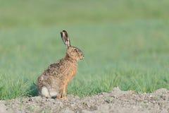 Brown hare Stock Photos