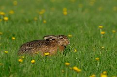 Brown hare sitting in the meadow and eat, spring. Lepus capensis Stock Image