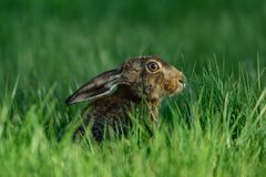 Brown hare sitting in the meadow, spring. Lepus capensis Royalty Free Stock Photography