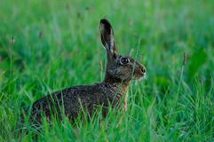 Brown hare sitting in the meadow, spring. Lepus capensis Stock Images