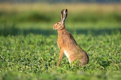 Wild brown hare sitting in a soy field Stock Photography