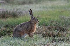 Brown hare sitting in the meadow, spring Royalty Free Stock Photos