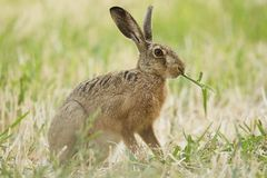 Brown hare in the summer. Brown hare, feeding on the field Royalty Free Stock Image