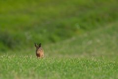 Brown Hare to the Left. A brown hare runs towards the camera on the left in a field stock image