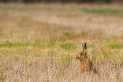 Brown Hare & x28;Lepus europaeus& x29; Royalty Free Stock Photo