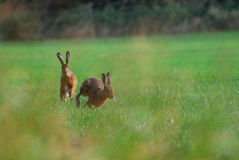 Brown hares chasing each other. In the grass at Coombe Hill Nature Reserve, UK royalty free stock images