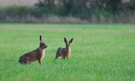Brown hares on a field. Two brown hares are standing in the grass at Coombe Hill Nature Reserve, UK Royalty Free Stock Photography