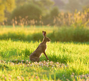 Brown hares in grass. Brown hares are sitting in the grass at Coombe Hill Nature Reserve, UK Stock Image