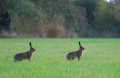 Brown hares in grass. Brown hares are sitting in the grass at Coombe Hill Nature Reserve, UK Stock Images