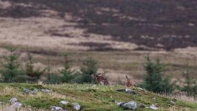 Brown hares, Lepus europaeus, sitting, cleaning within a glen silhouette against a mountain. Brown hares, Lepus europaeus, sitting, cleaning within a glen stock footage