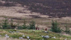 Brown hares, Lepus europaeus, sitting, cleaning within a glen silhouette against a mountain. Brown hares, Lepus europaeus, sitting, cleaning within a glen stock video footage