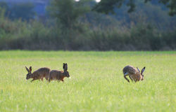 Brown hares running around in circles. Three brown hares are running around in circle in the grass at Coombe Hill Nature Reserve, UK Royalty Free Stock Photo