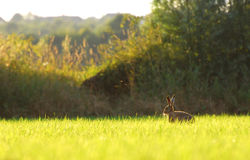 Brown hares running around in circles Royalty Free Stock Photography
