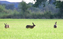 Brown hares running around in circles. Three brown hares are running around in circle in the grass at Coombe Hill Nature Reserve, UK. The middle one is sideways Royalty Free Stock Photos