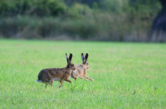 Brown hares running around. Two brown hares are running around in circle in the grass at Coombe Hill Nature Reserve, UK Royalty Free Stock Image