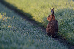 Brown harewith the eat Royalty Free Stock Image