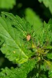 Brown Harvestman - Hadrobunus maculosus. Brown Harvestman resting on a leaf waiting to ambush an unwary insect. Also known as a Daddy Long Legs. High Park Royalty Free Stock Photos